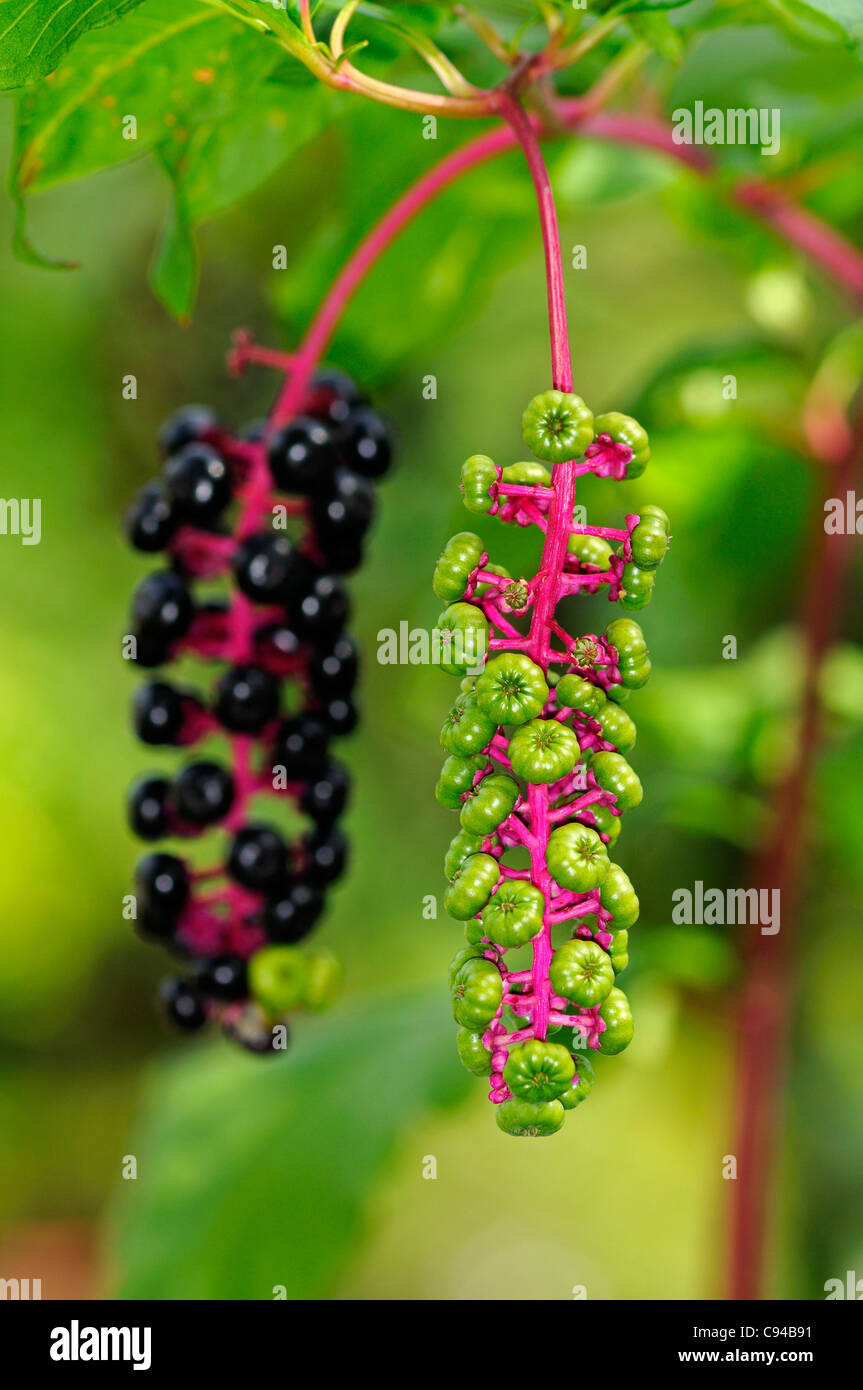 Infructescences of American Pokeweed (Phytolacca americana) in different stages of maturity Stock Photo