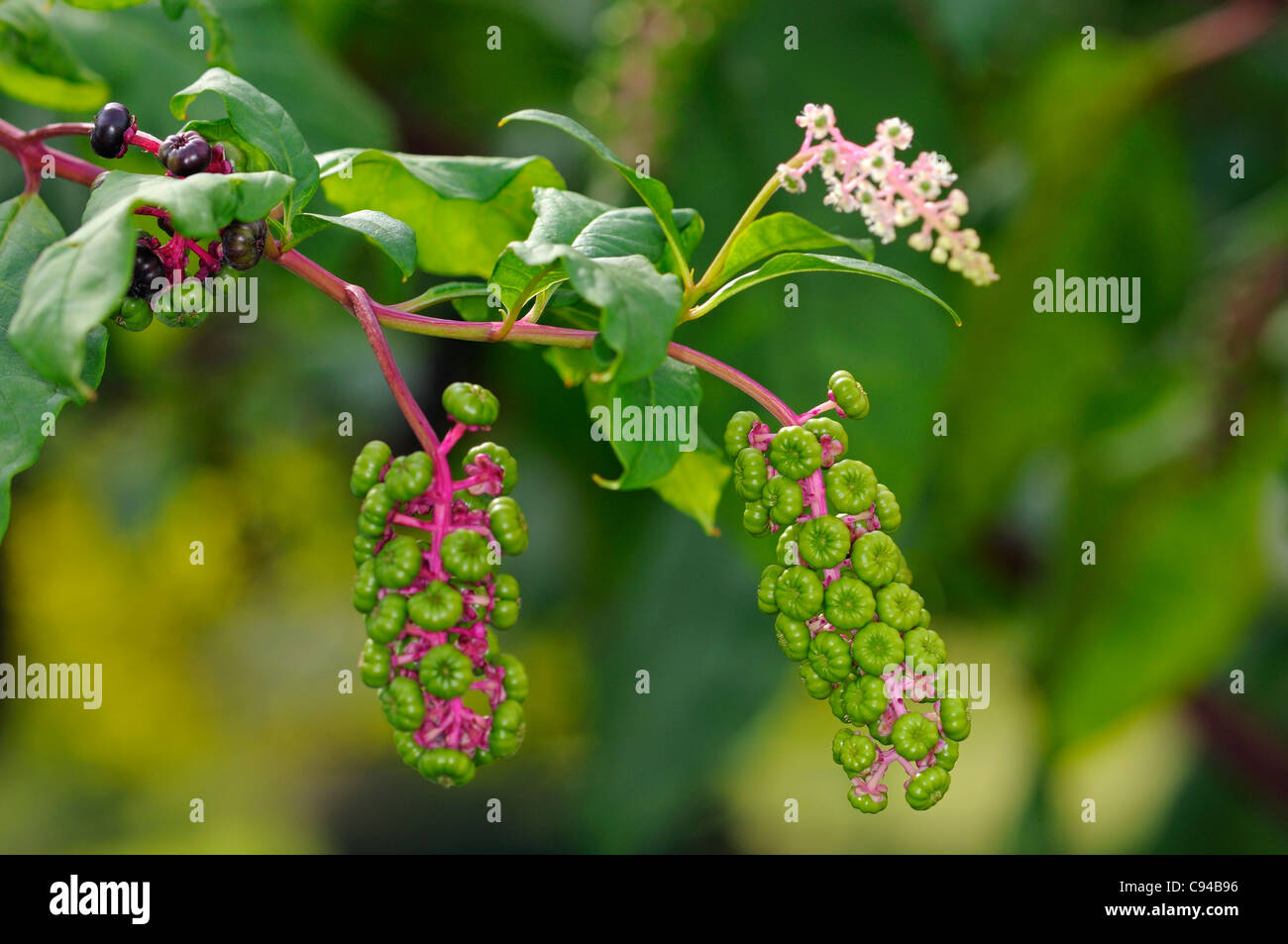 Flowers and immature infructescences of American Pokeweed (Phytolacca americana) Stock Photo