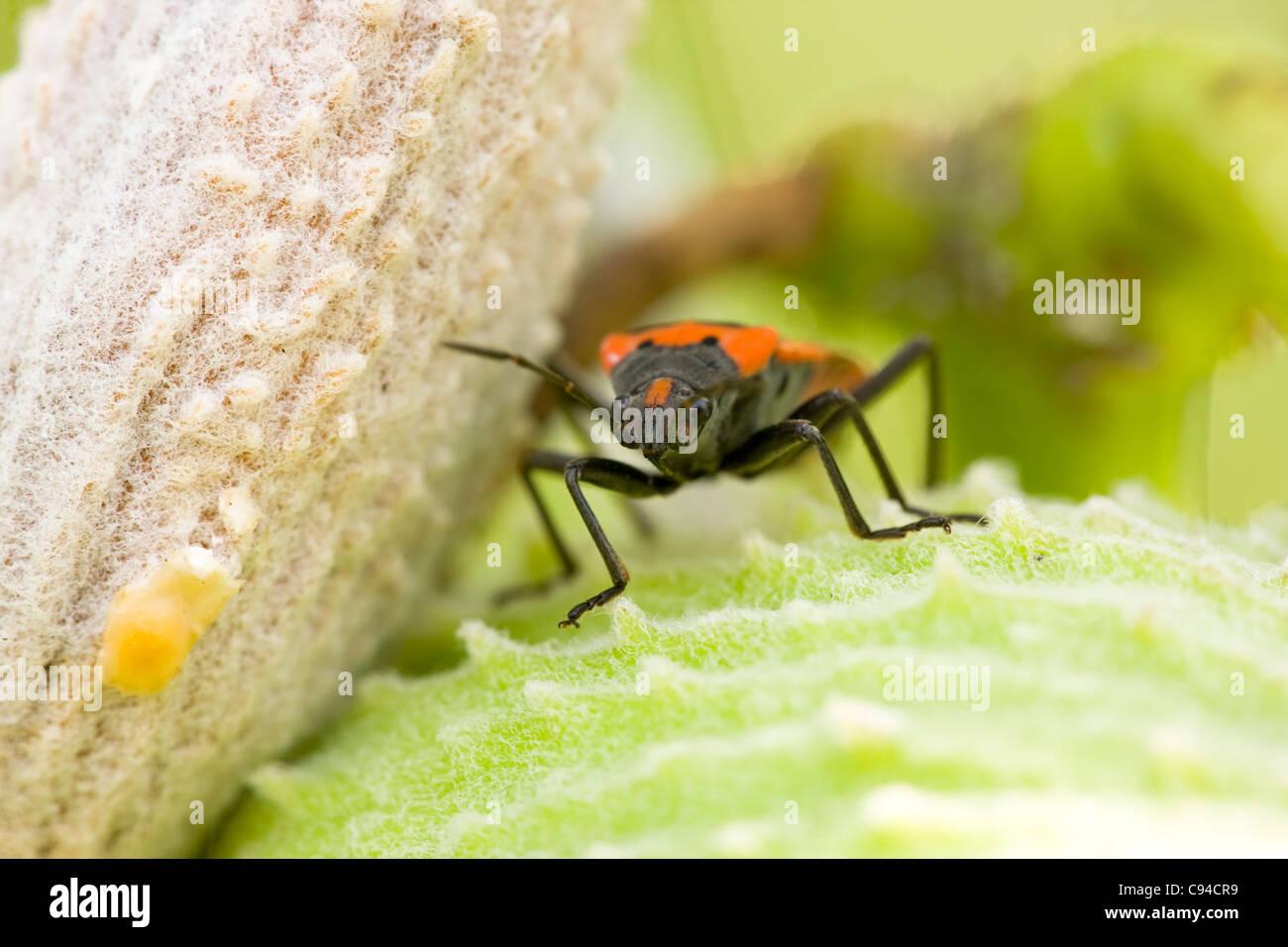 Small Eastern Milkweed Bug (Lygaeus turcicus) on a Common Milkweed (Asclepias syriaca) plant. Stock Photo