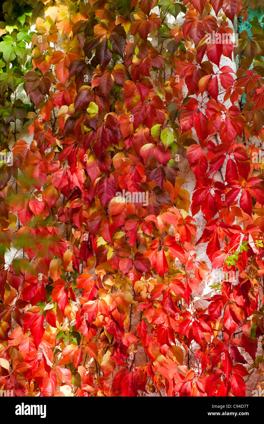 Autumn Ivy with Multi Colored Leaf - Stock Image