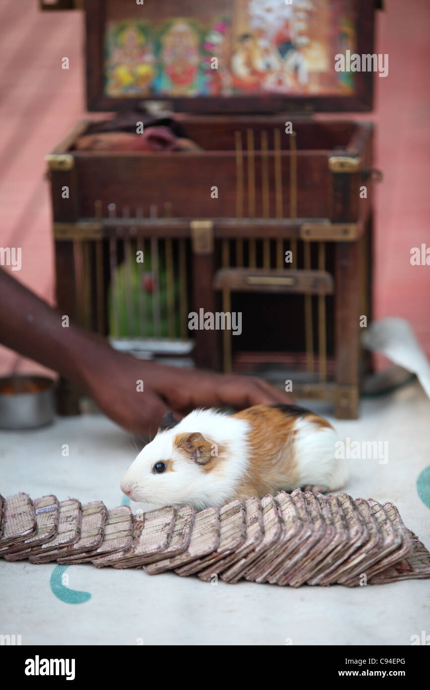 Fortune teller using a hamster Tamil Nadu India - Stock Image
