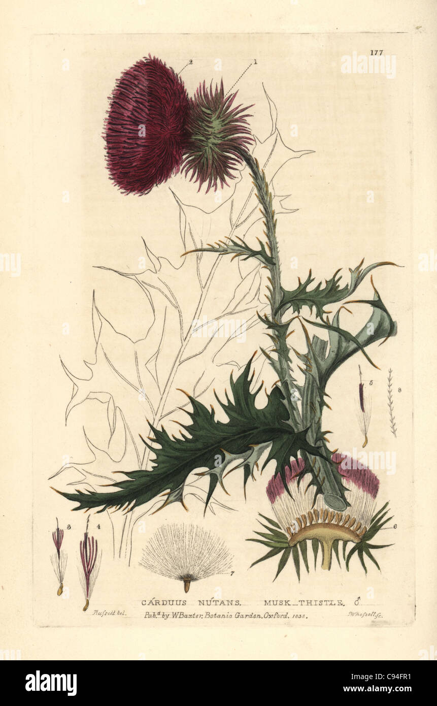 Musk thistle, Carduus nutans. - Stock Image
