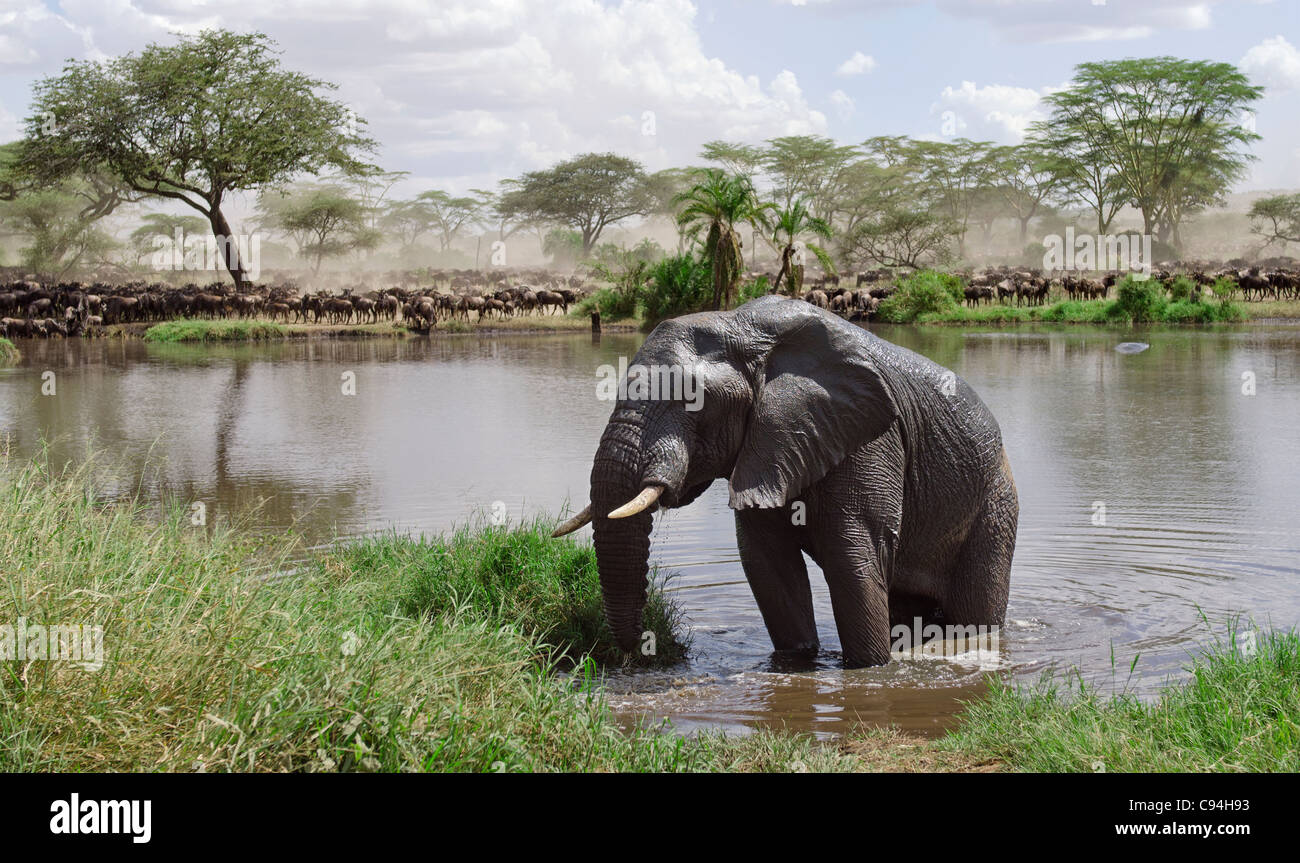 Elephant in river in Serengeti National Park, Tanzania, Africa - Stock Image