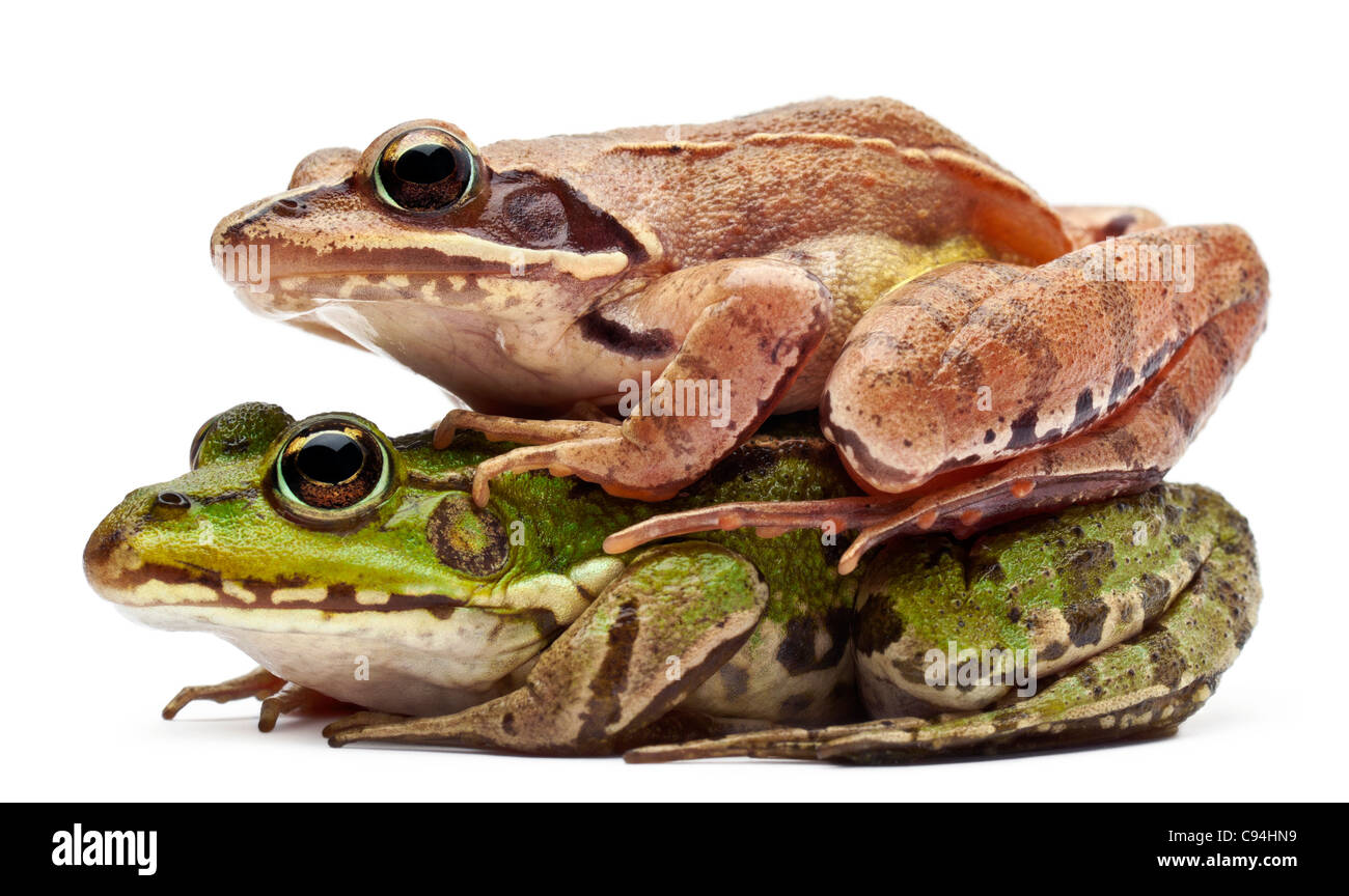 Common European frog or Edible Frog, Rana esculenta, and a Moor Frog, Rana arvalis, in front of white background - Stock Image