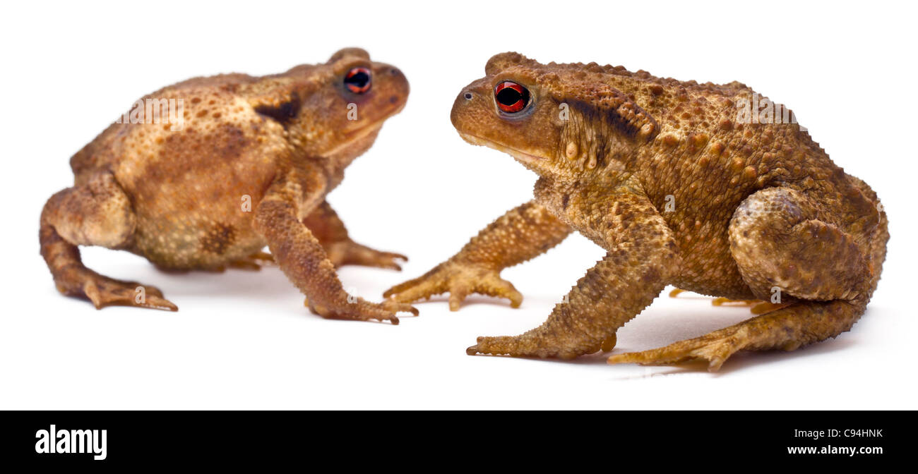 Two common toads or European toads, Bufo bufo, facing each other in front of white background - Stock Image