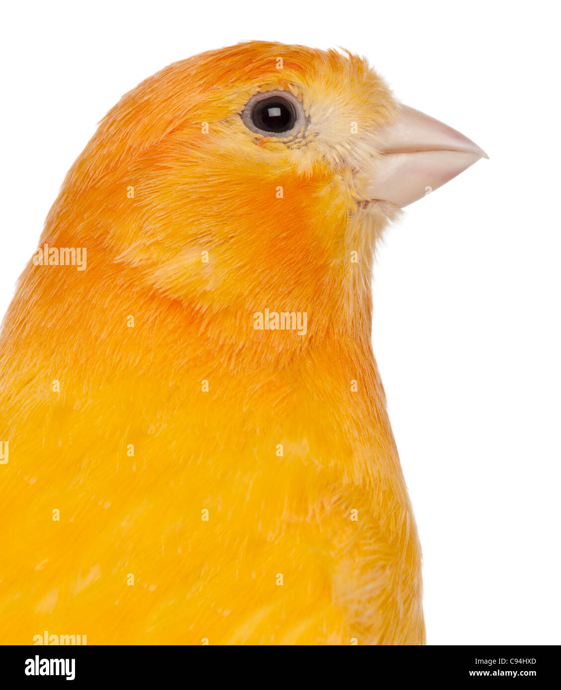 Close-up of Canary, Serinus canaria domestica, 2 years old, in front of white background - Stock Image