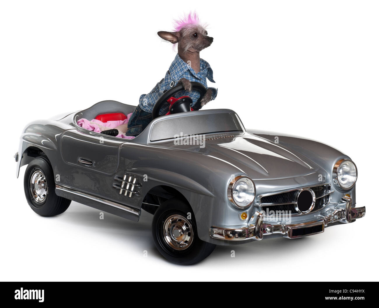 Chinese Crested dog driving convertible in front of white background - Stock Image