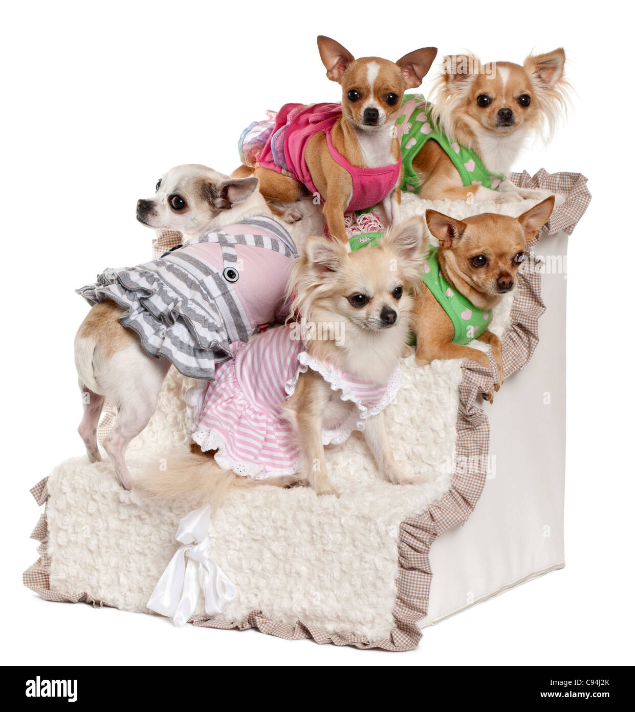 Five Chihuahuas sitting on steps in front of white background - Stock Image