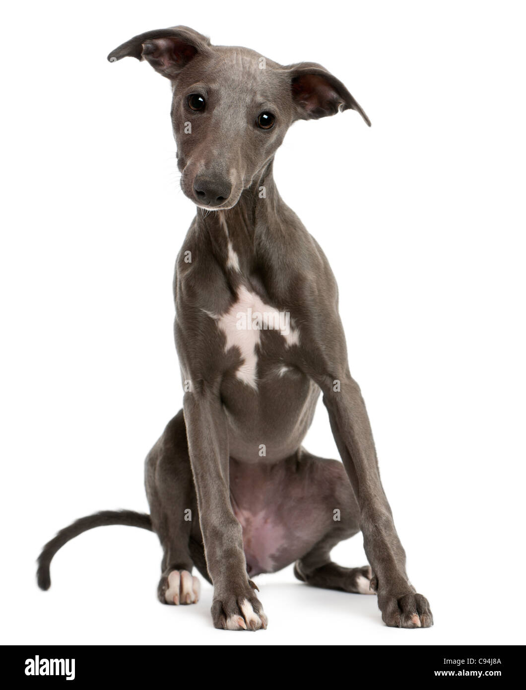 Whippet puppy, 6 months old, sitting in front of white background - Stock Image
