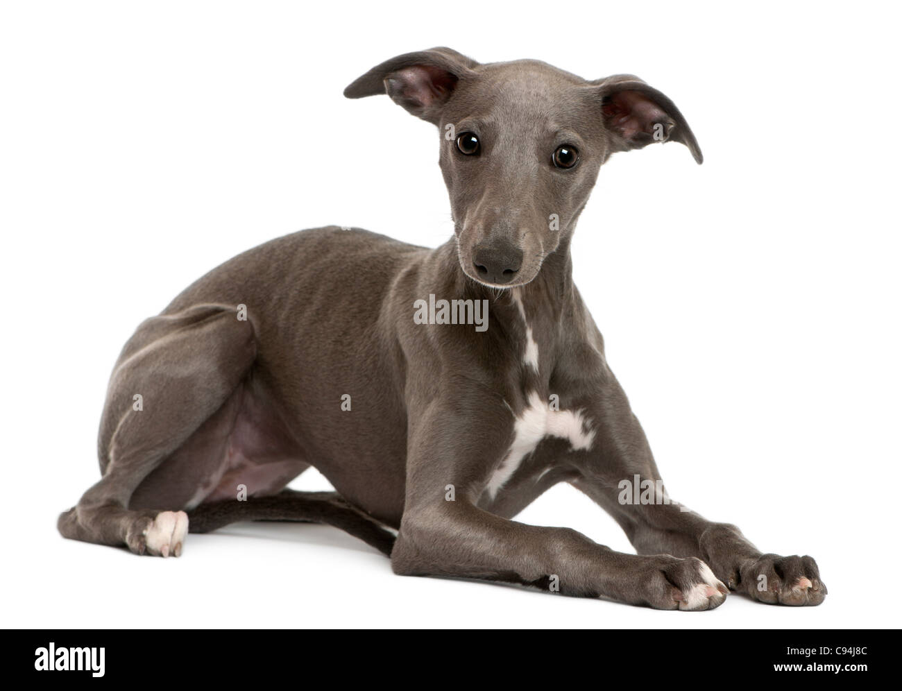 Whippet puppy, 6 months old, lying in front of white background - Stock Image