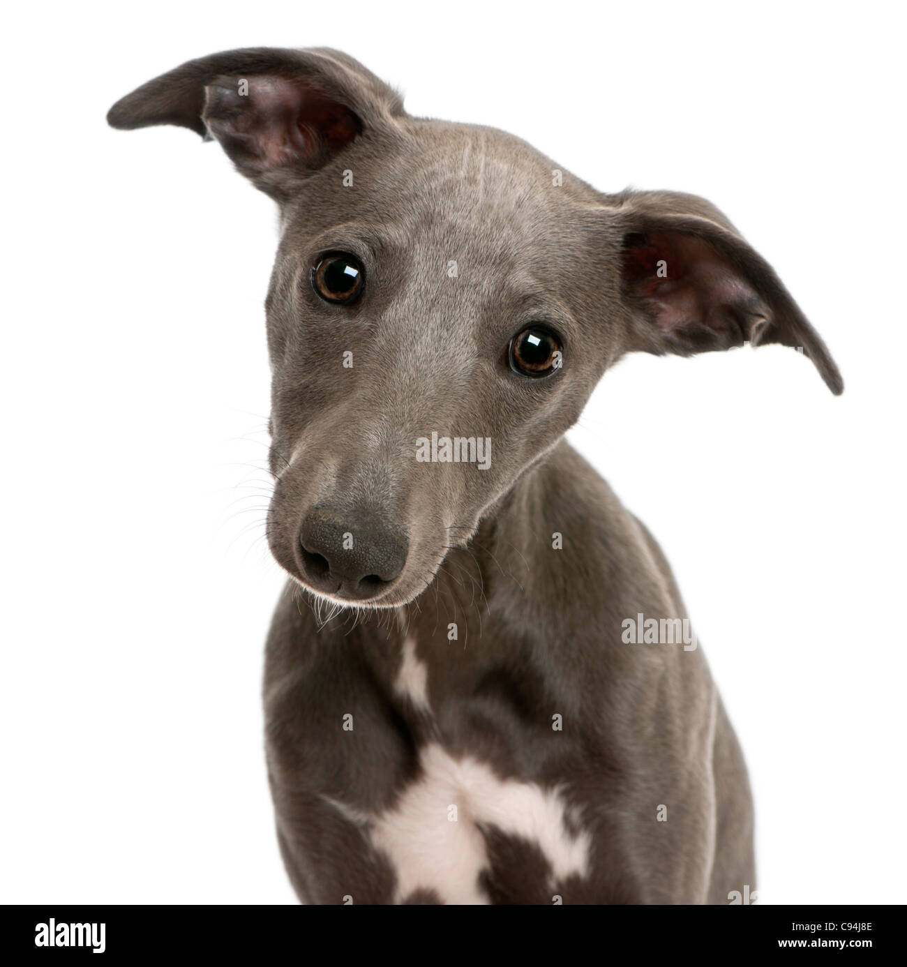 Close-up of Whippet puppy, 6 months old, in front of white background - Stock Image