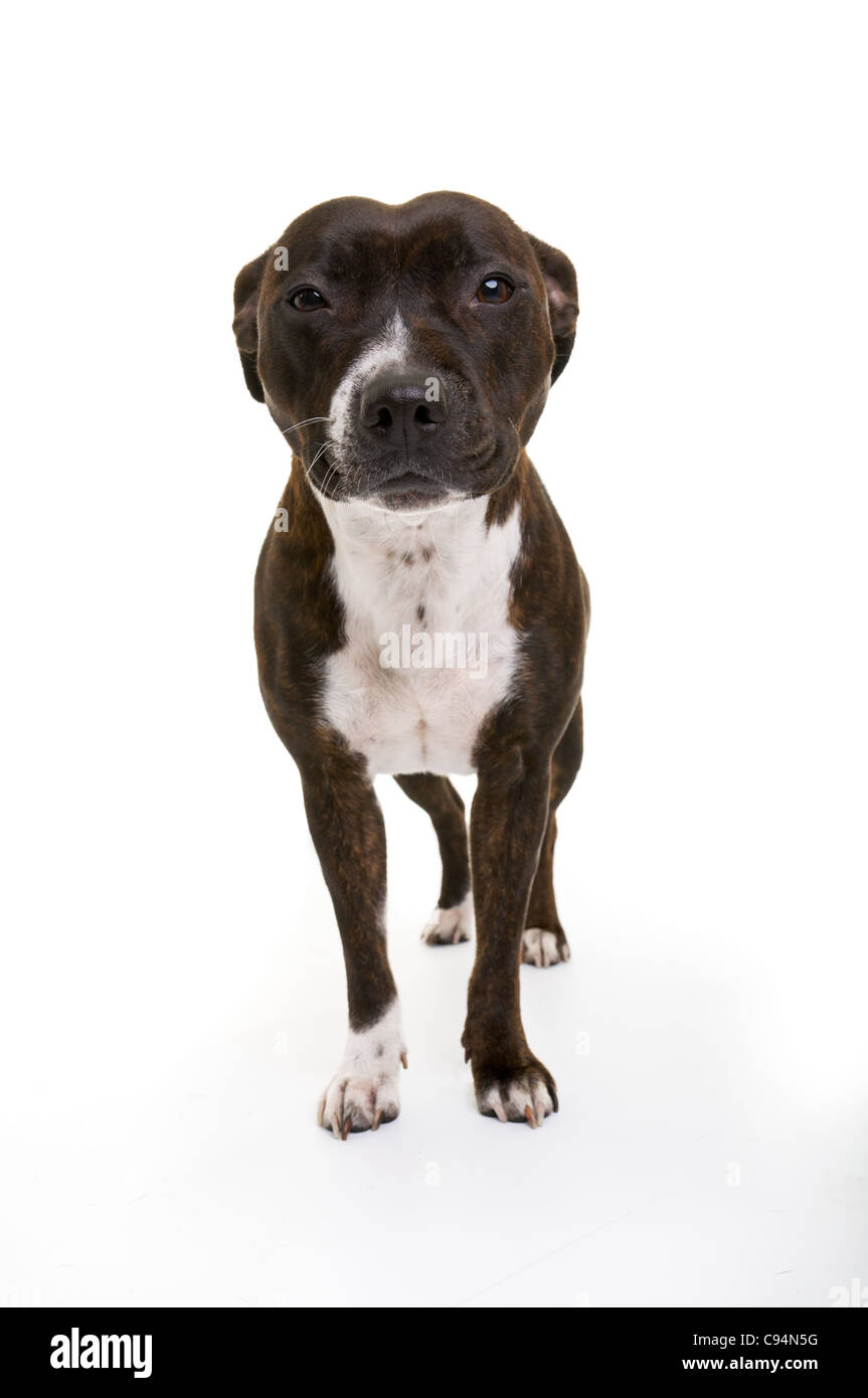 This is a young brindle and white Staffordshire Bull Terrier female. Isolated on a white back ground. - Stock Image