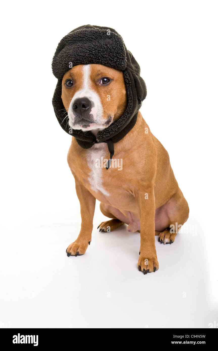 This is a portrait photograph of a red Staffordshire Bull Terrier Male wearing a deerstalker type hat. - Stock Image