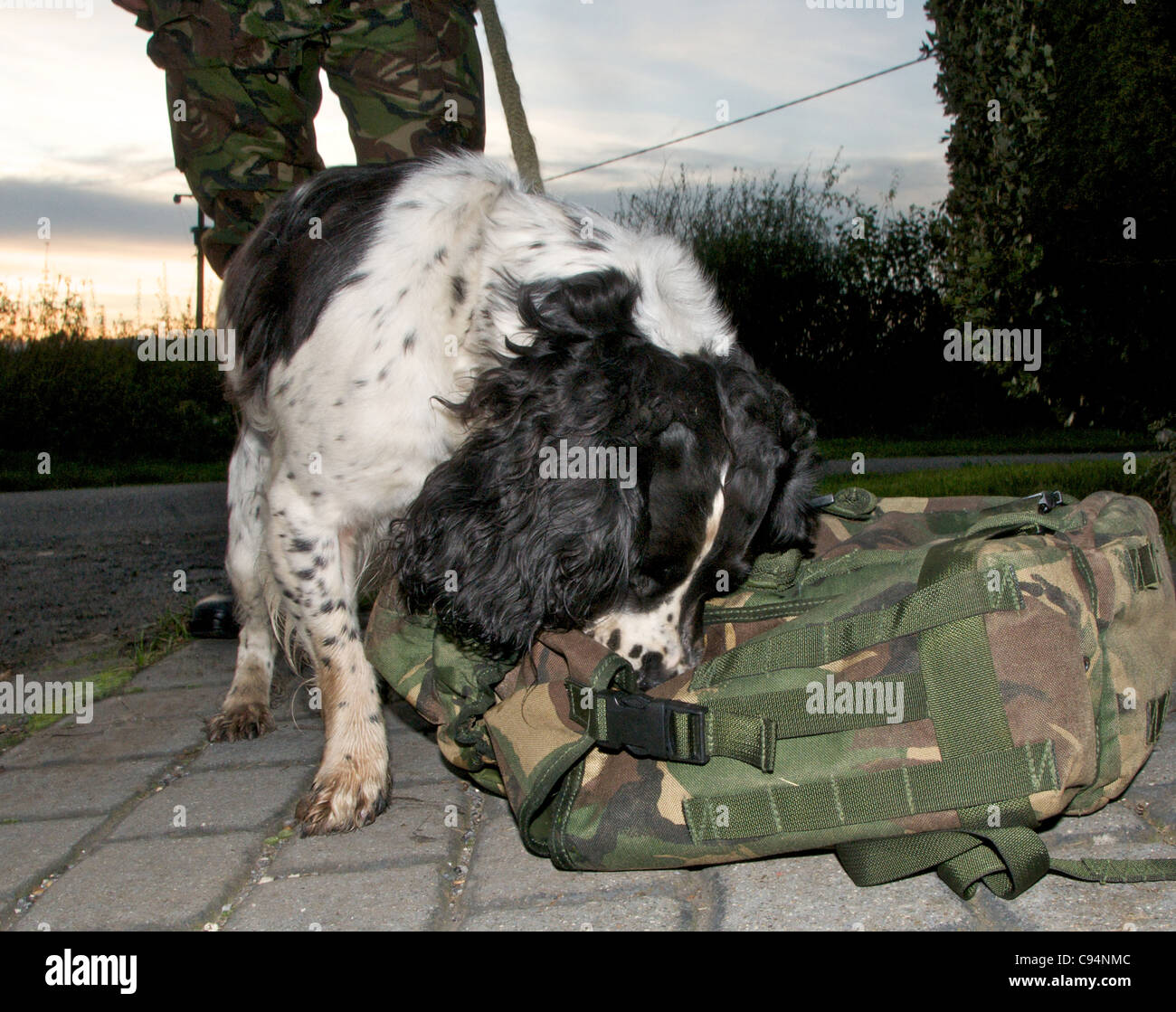 Sniffer dogs are used by police and the military to search for drugs and explosives - this is a Springer Spaniel - Stock Image