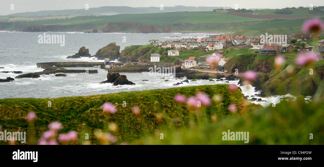 St Abbs village from St Abbs Head - seen through pink Thrift flowers - Stock Image