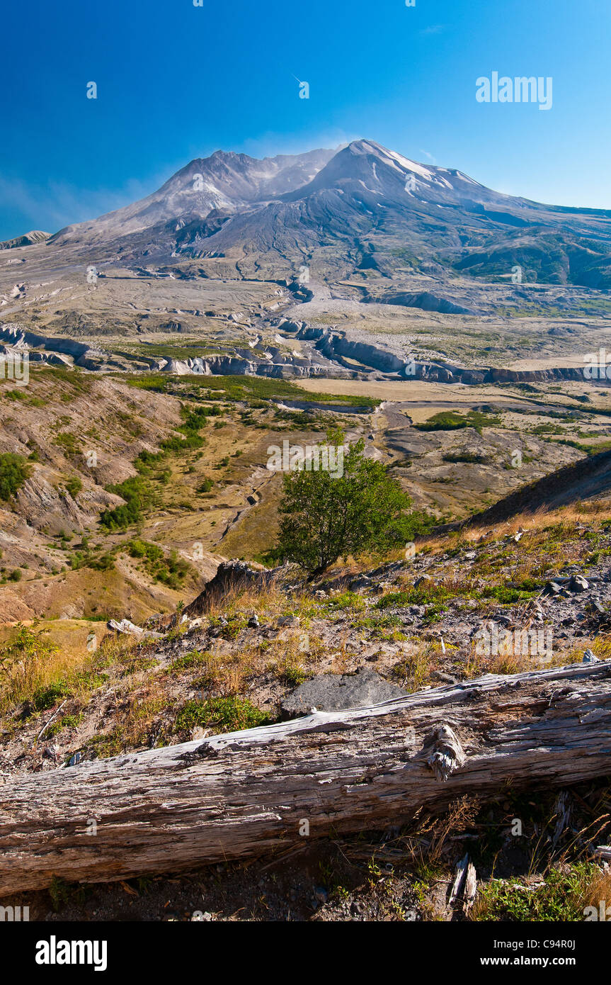 Panoramic view over northern side of Mount St. Helens with tree burnt trunk, Johnston Ridge, Washington, USA - Stock Image