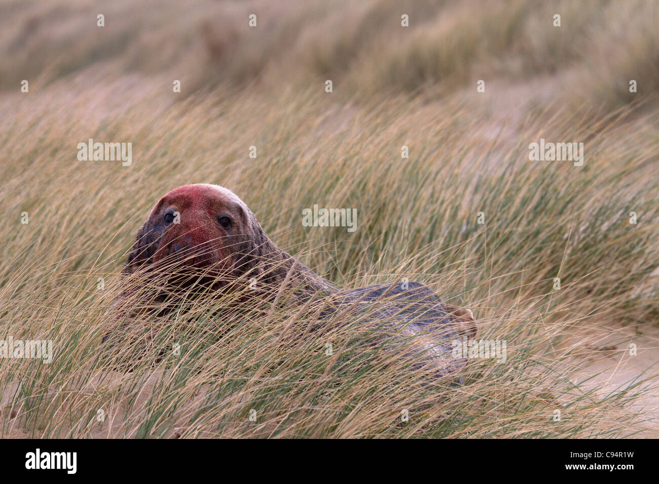 Grey Seal, Halichoerus grypus bull in sand dunes Stock Photo