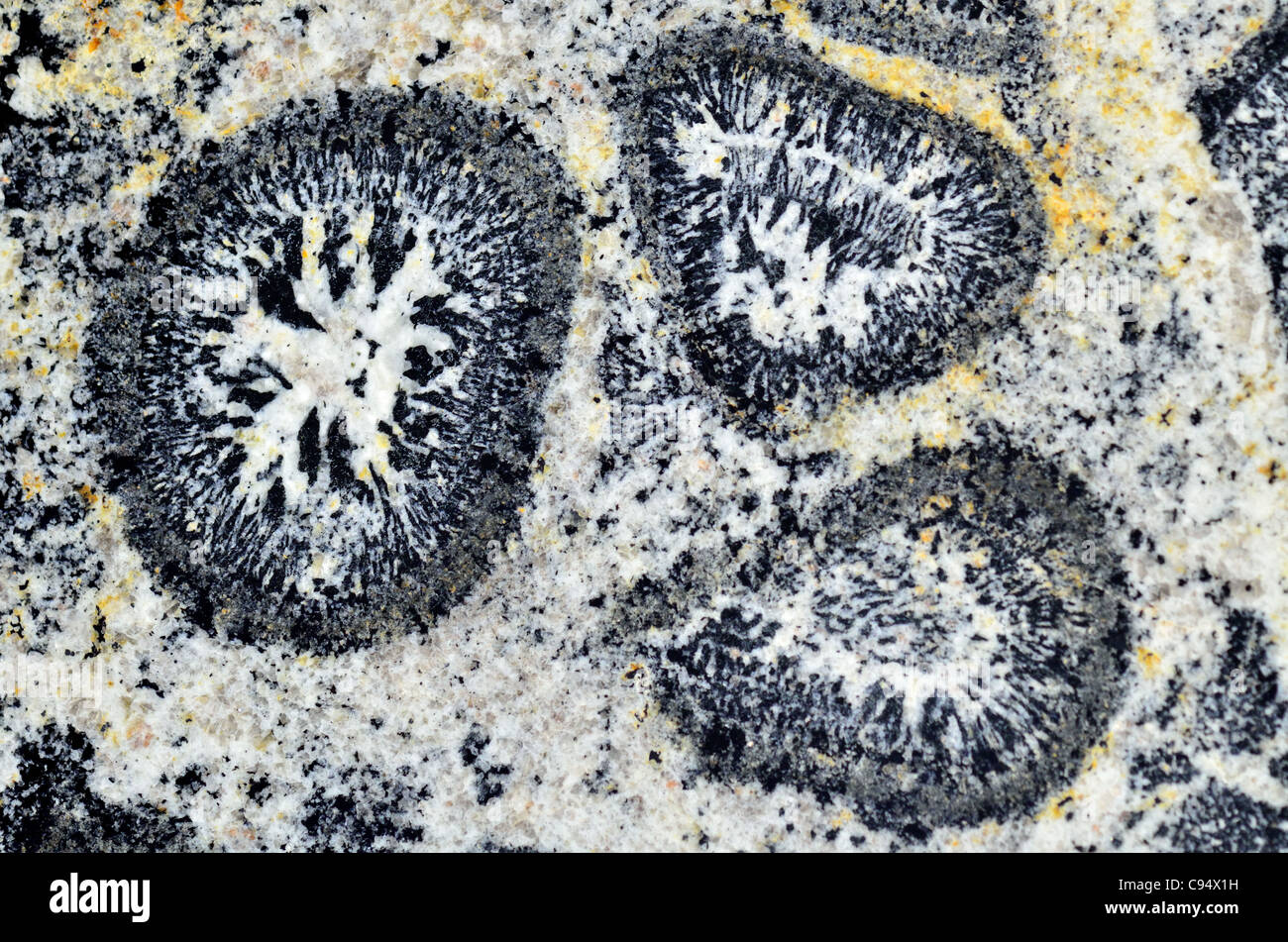 Polished surface of orbicular granite from Australia. - Stock Image