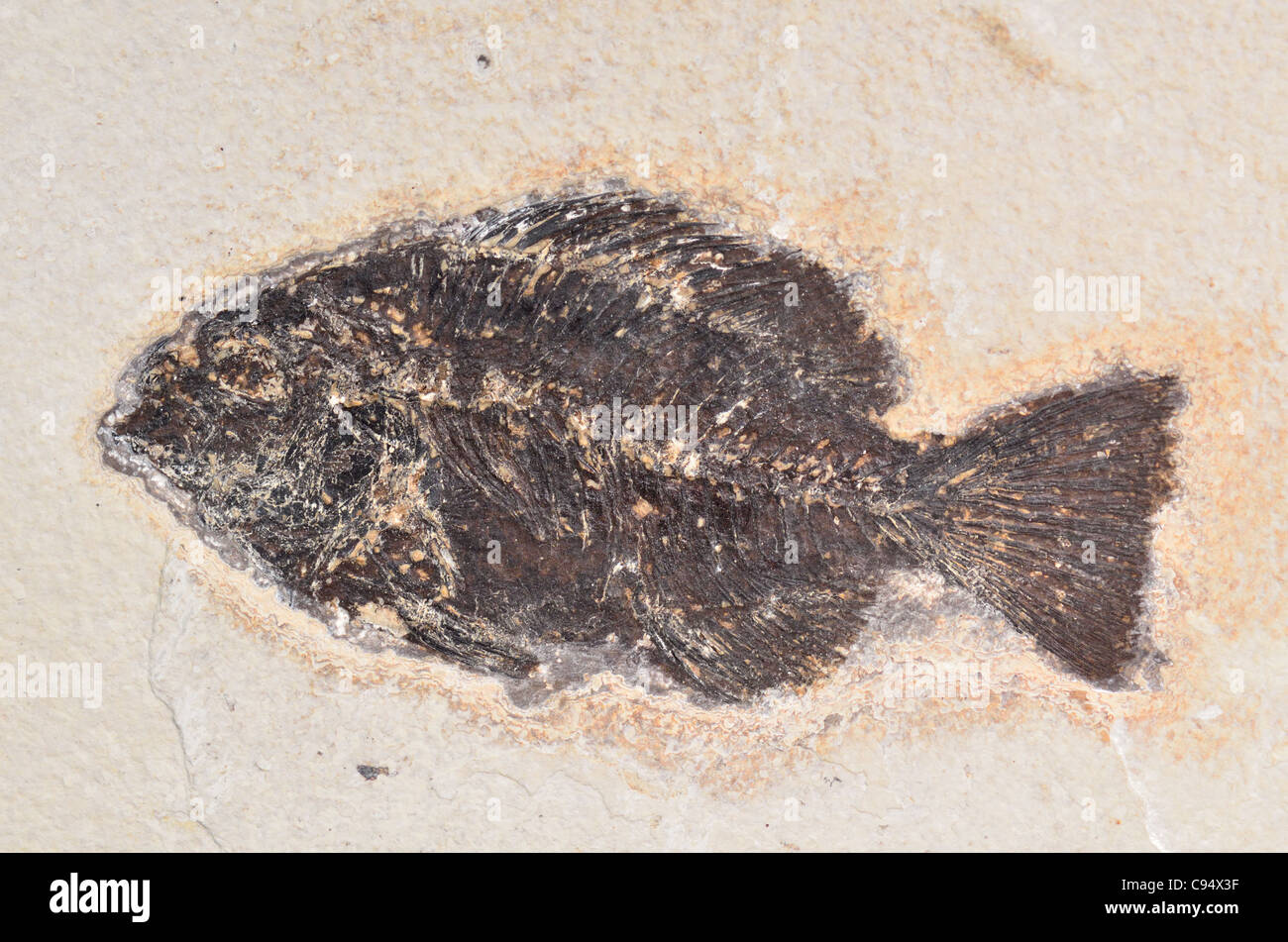 Fish fossil preserved in rock matrix. - Stock Image
