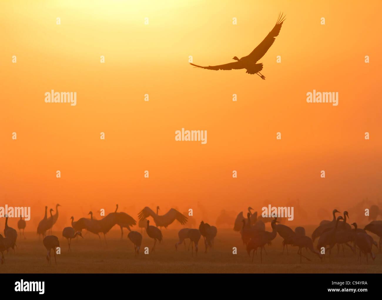 Common Cranes with dawn (Grus grus) Stock Photo