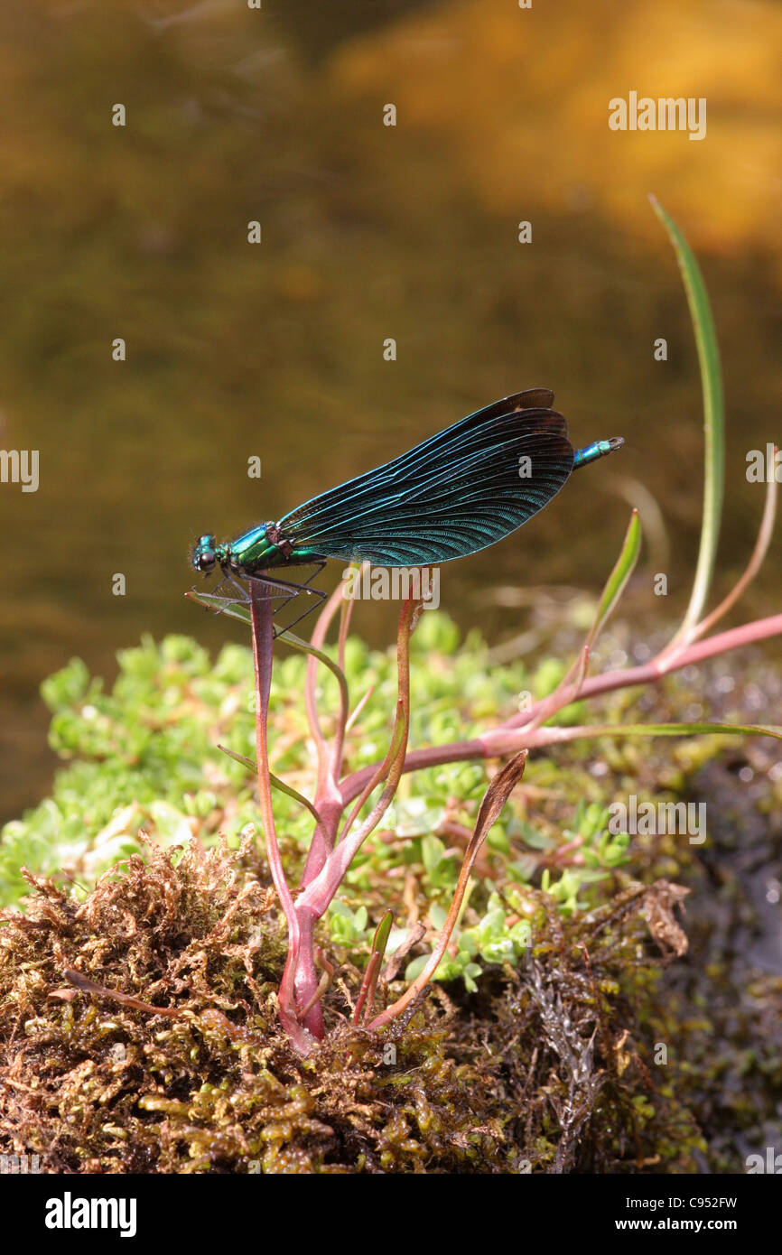 Beautiful demoiselle damselfly (Calopteryx virgo) male on station in his territory in a fast-flowing stream, UK. - Stock Image