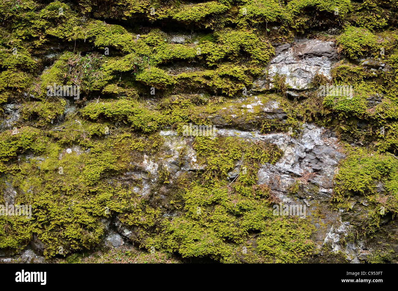 Lichen or moss growing on a damp wall by the side of the road just outside the village of Wengen, Switzerland. - Stock Image