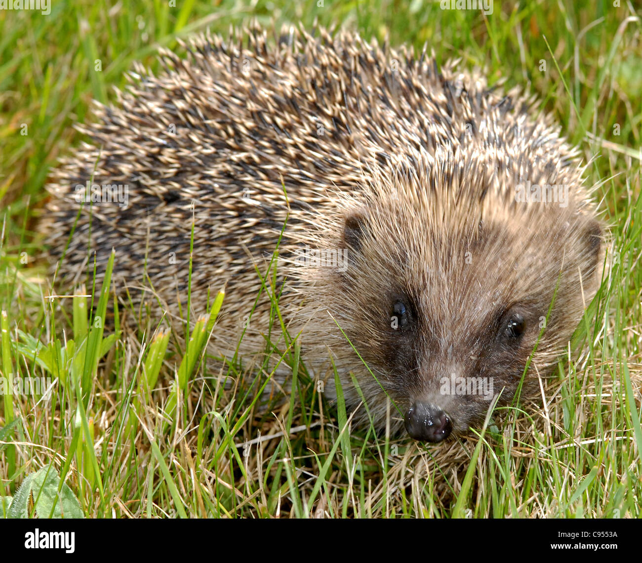 Hedgehog (Erinaceus europaeus) spiney coated mammal found less commonly in the UK - feeds maily on slugs, worms - Stock Image