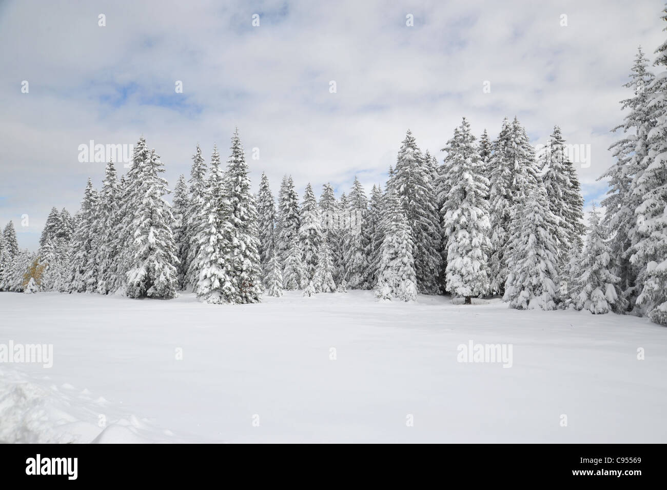 Chur switzerland winter stock photos chur switzerland - Images of pine trees in snow ...