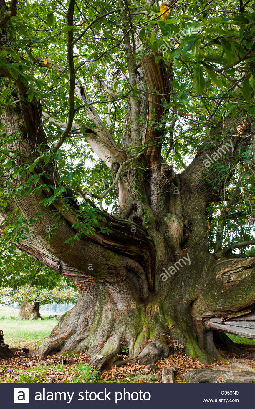 champion Castanea sativa sweet chestnut tree Cowdray Park Sussex England biggest deciduous country autumn fall October - Stock Image