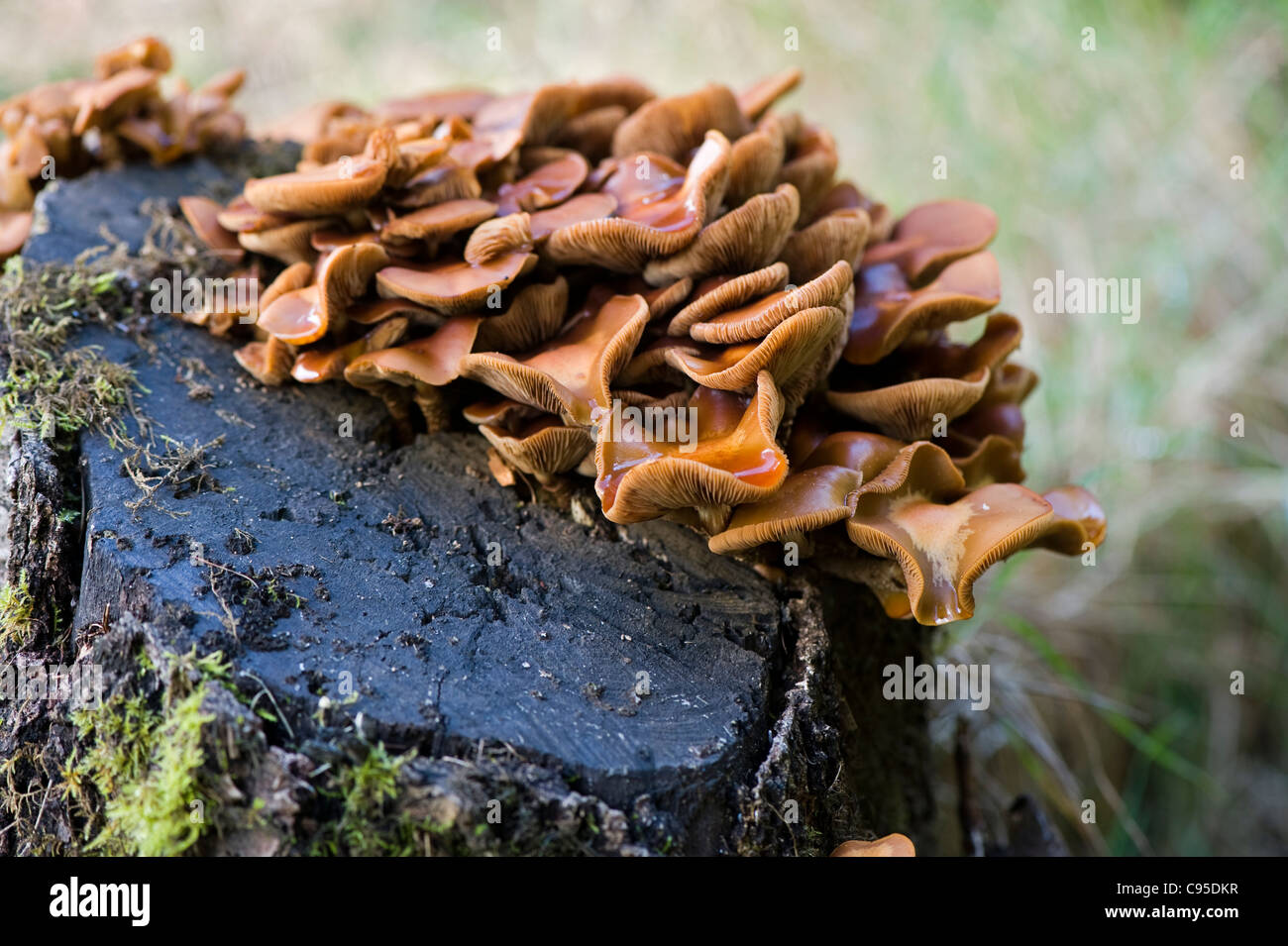 Orange clumps of bracket -shaped fungus - polypore fungi growing on a decaying mossy tree stump. - Stock Image