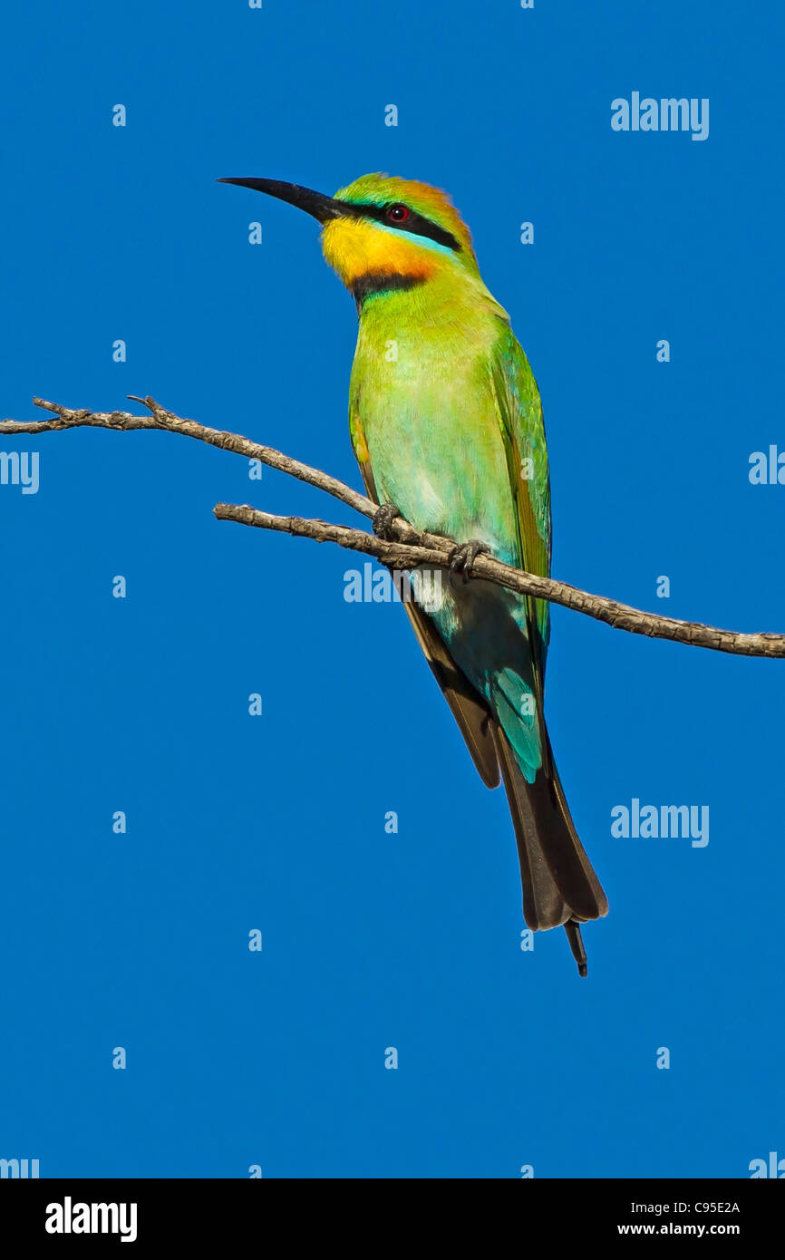 RAINBOW BEE-EATER PERCHED ON A BRANCH - Stock Image