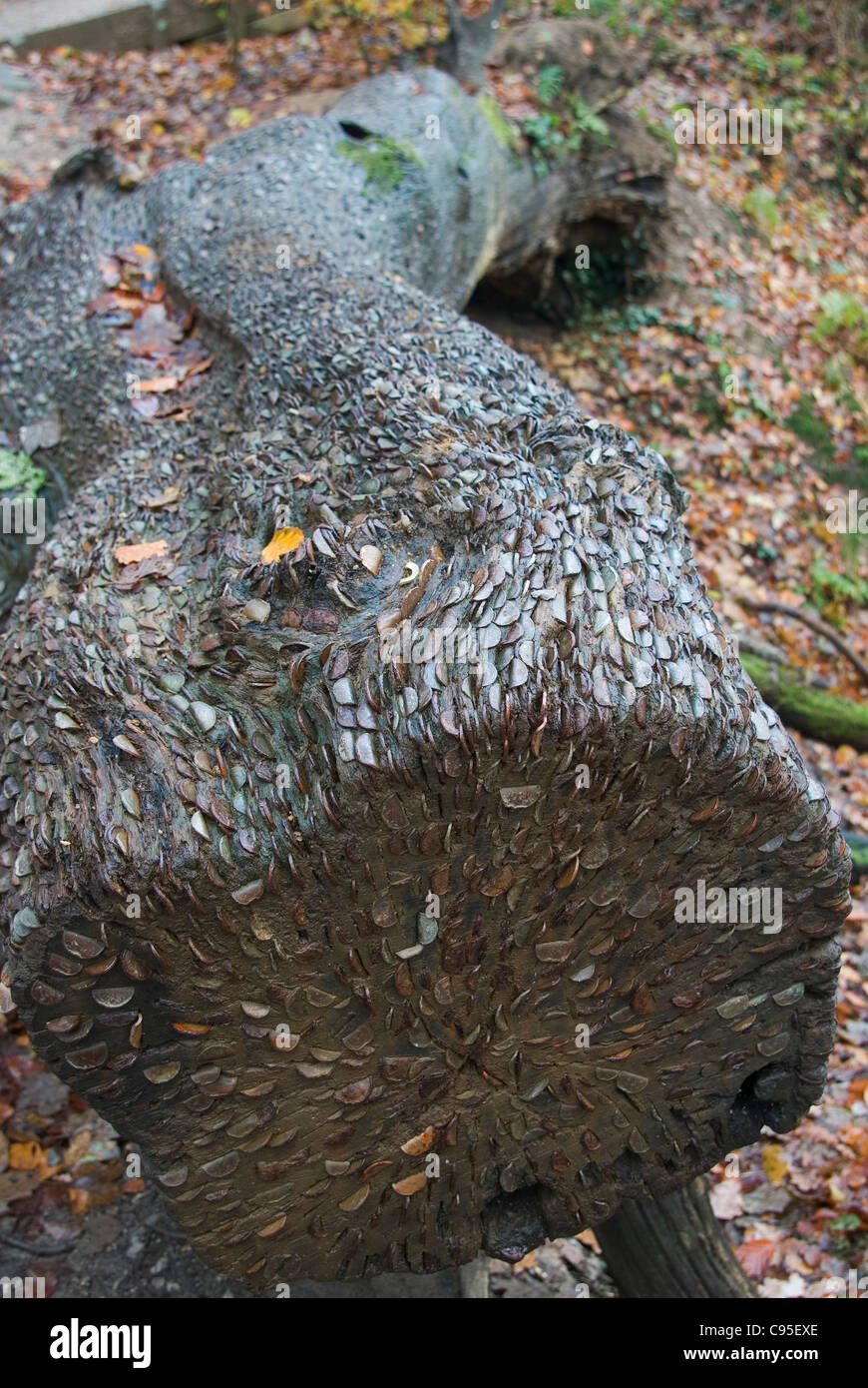 Coins in log in Strid Woods, or a 'Wish Tree' Stock Photo