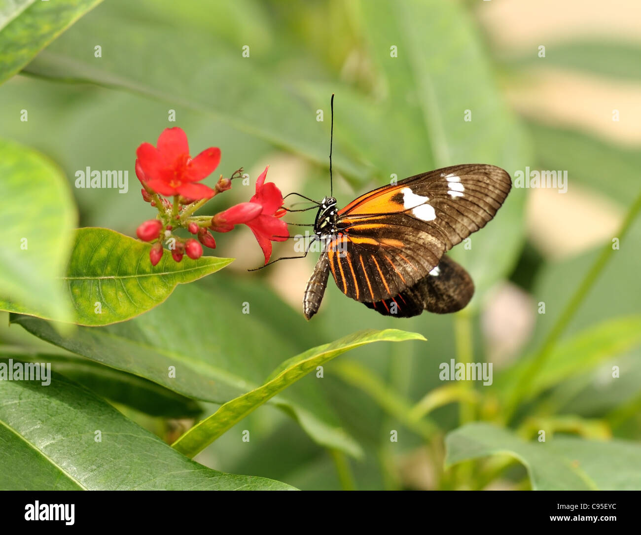 butterfly Heliconia hecale sitting on a flower - Stock Image