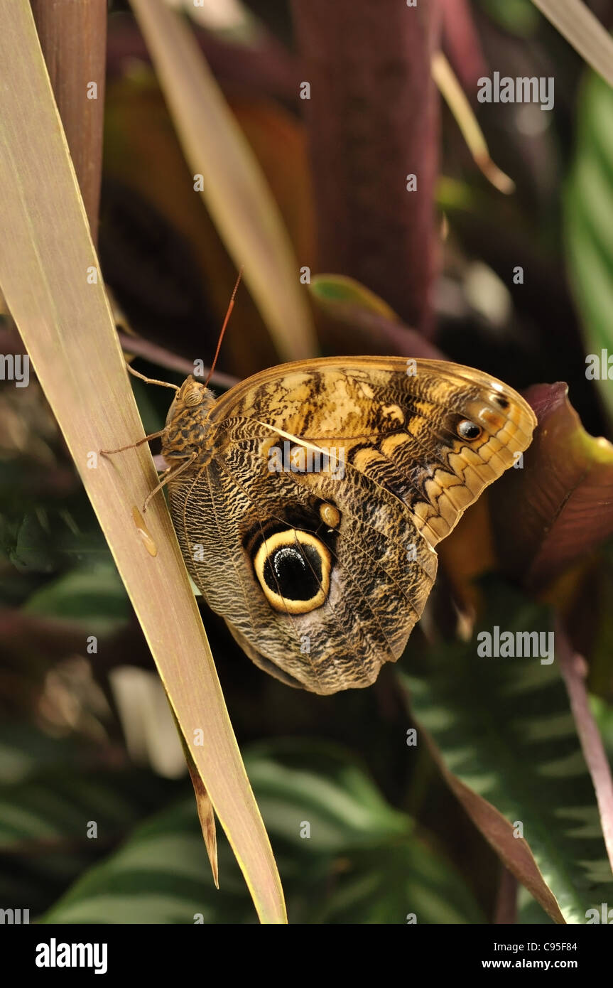 common blue morpho butterfly on a leaf , morpho peleides - Stock Image