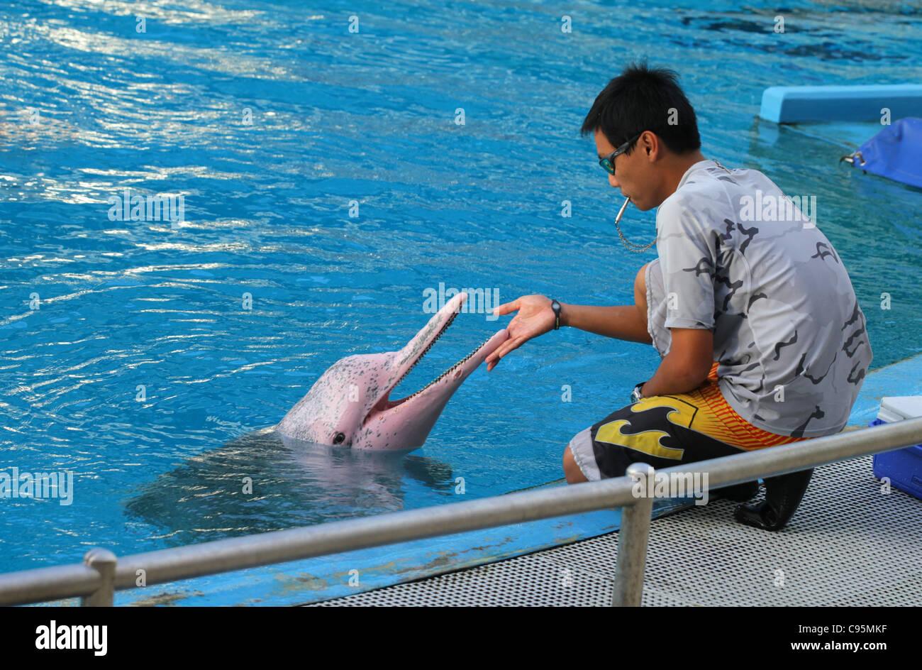 bottlenosed dolphin, common bottle-nosed dolphin (Tursiops truncatus) - Stock Image