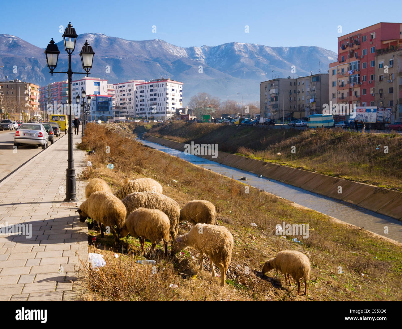 Sheep grazing on the banks of the River Lana, Bulevardi Zhan D'Ark, Tirana, Albania - Stock Image