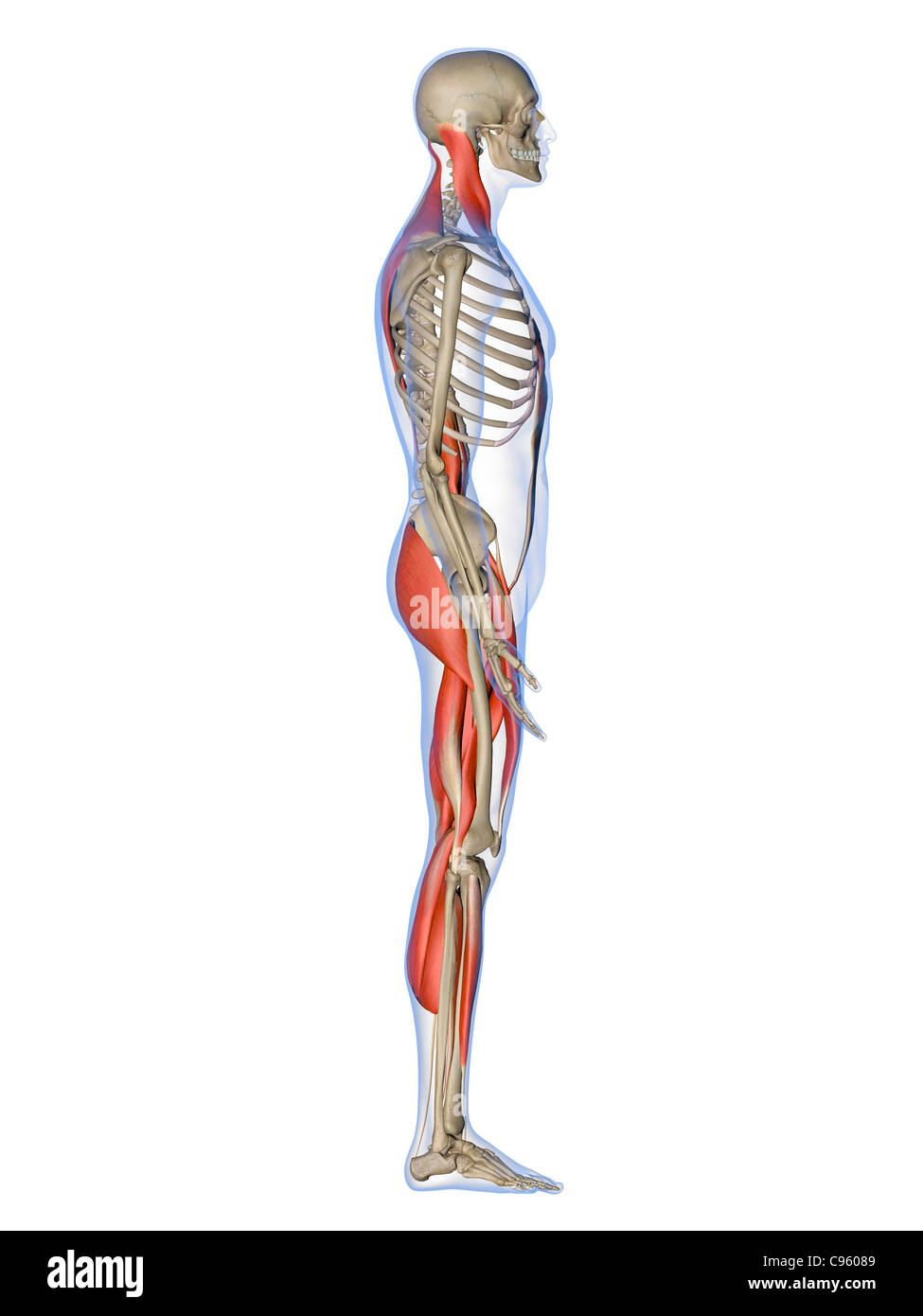 Male muscles, artwork - Stock Image