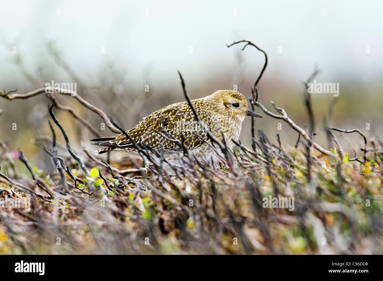 Golden Plover resting amongst burnt heather stems on moorland - Stock Image