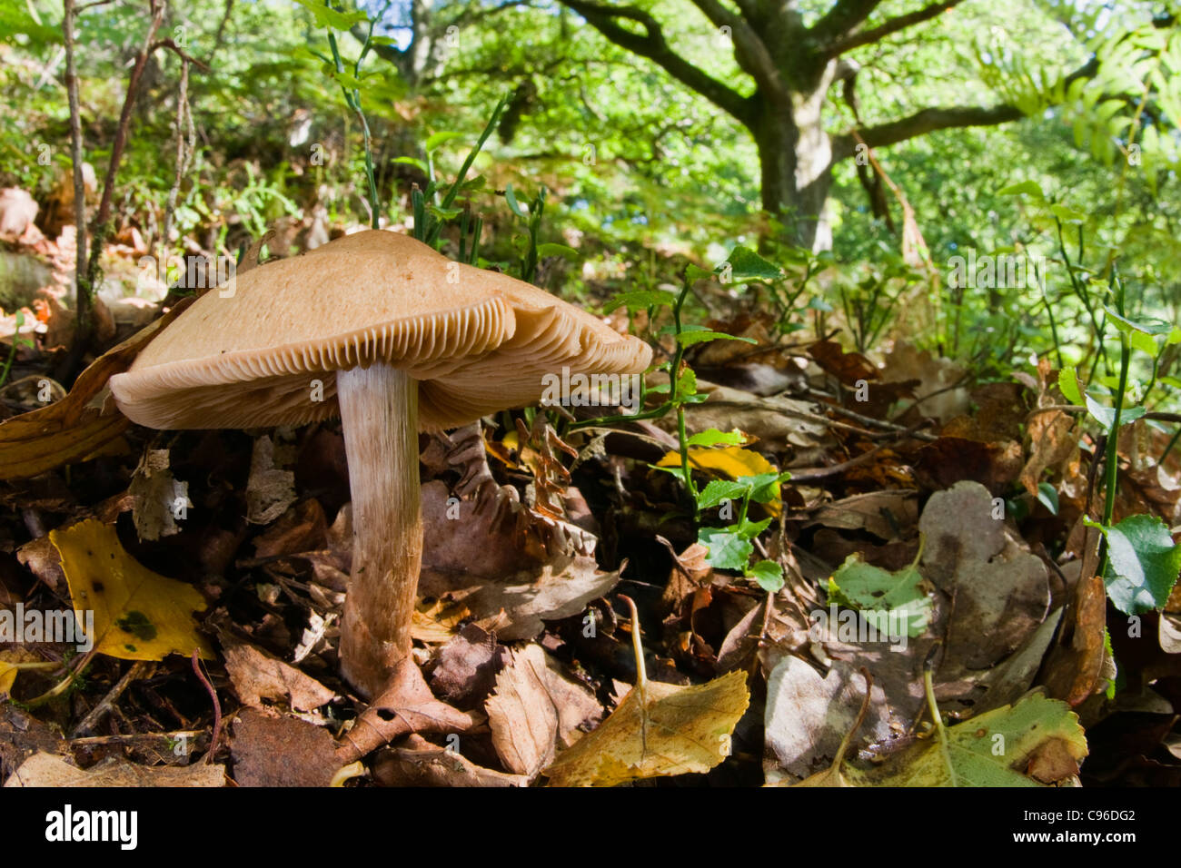 Fungi growing amongst leaf litter in oak woodland - Stock Image