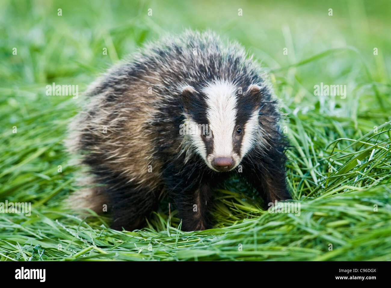 Young badger in hayfield - Stock Image