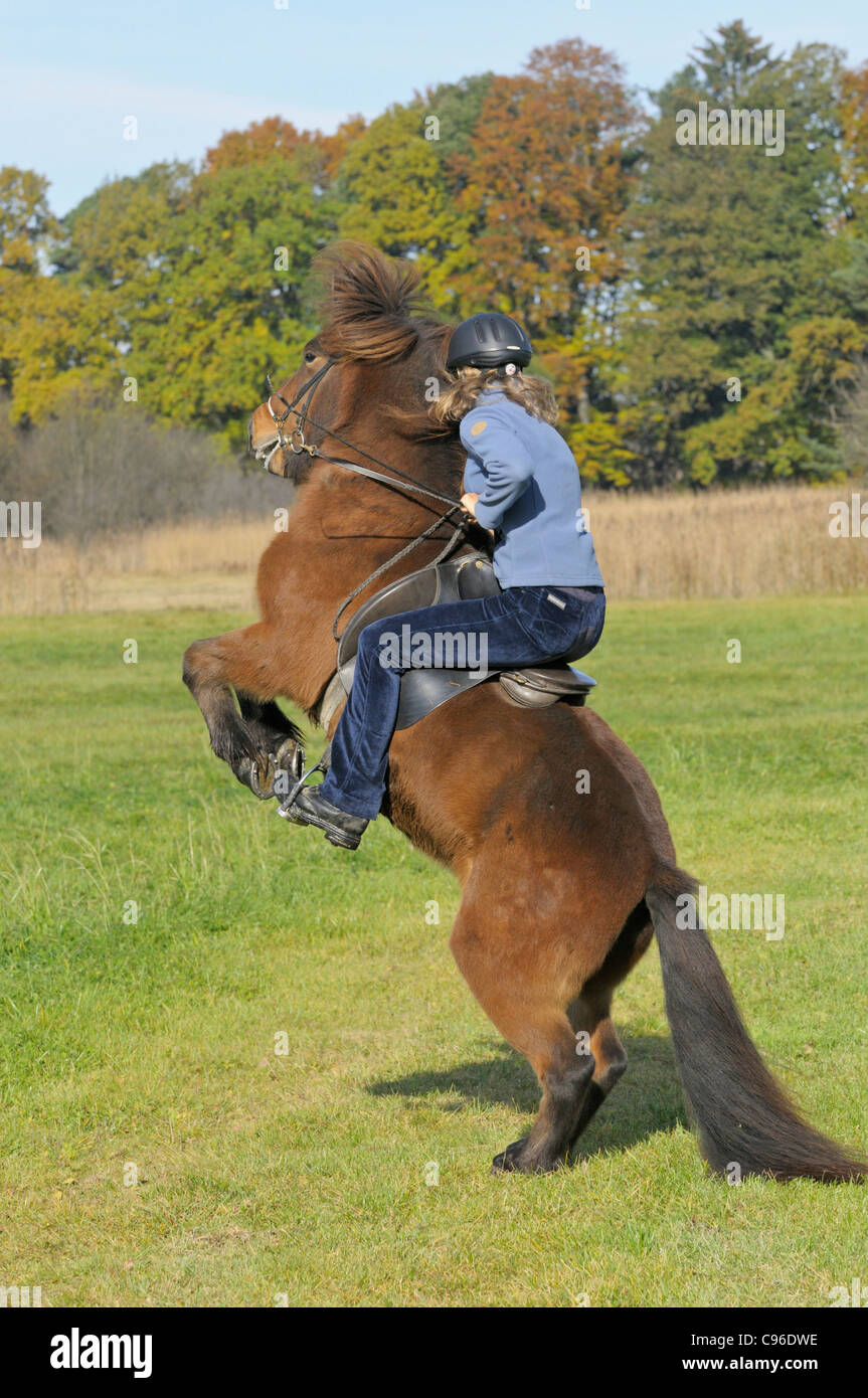 Young rider on back of a rearing Icelandic horse - Stock Image