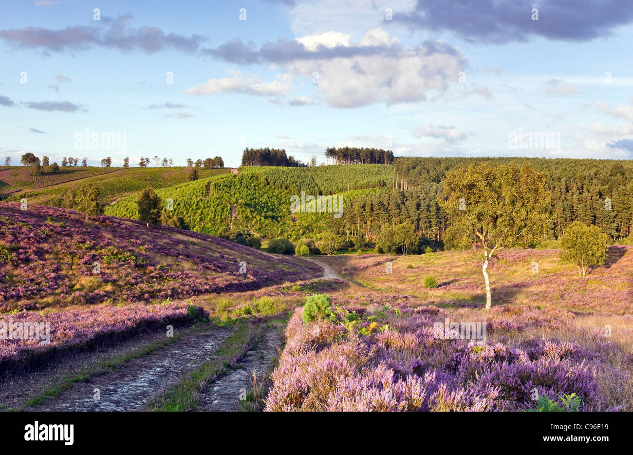 Path through heather on heathland down into Sherbrook Valley in summer Cannock Chase Country Park AONB - Stock Image
