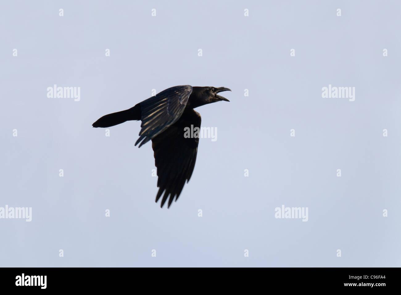 Raven; Corvus corax; calling in flight; UK - Stock Image