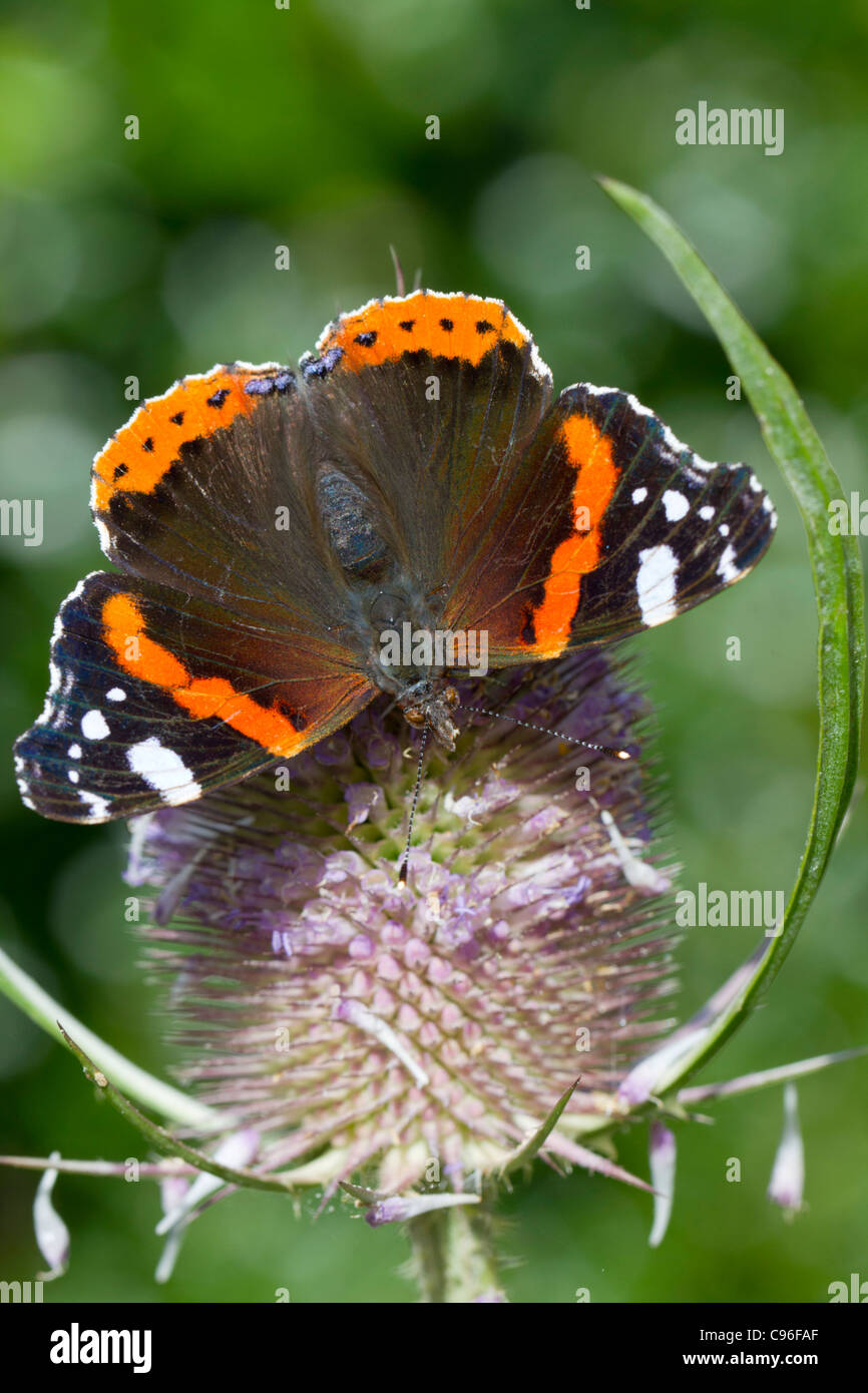 Red Admiral Butterfly; Vanessa atalanta; on teasel; UK - Stock Image