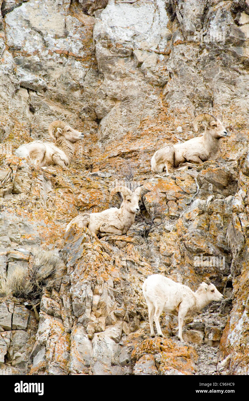 United States, Wyoming, Jackson Hole, big horn sheep resting on a a rocky hillside in antelope flats. - Stock Image