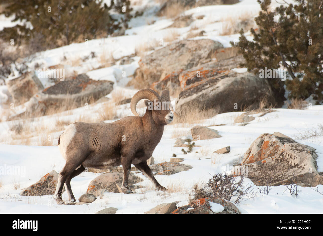 United States, Wyoming, Jackson Hole, big horn sheep graze in the gros ventre range. - Stock Image