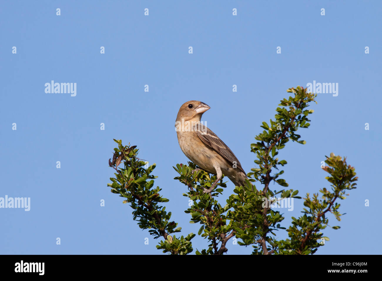 Female Blue Grosbeak, Passerina caerulea, looking for water and relief from summer heat - Stock Image