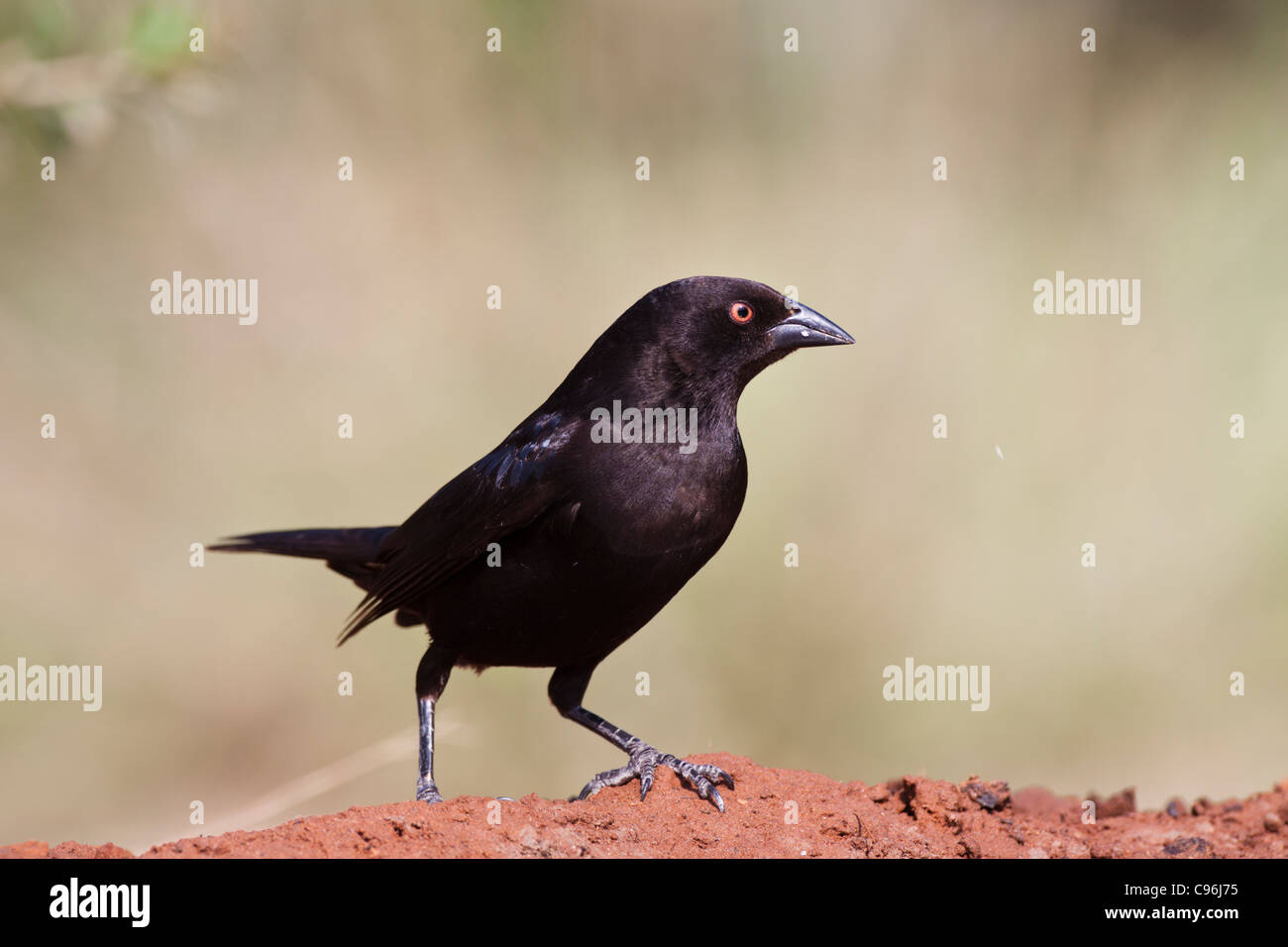 Bronzed Cowbird, Molothrus aeneus, looking for water and relief from summer heat on a ranch in South Texas. Stock Photo