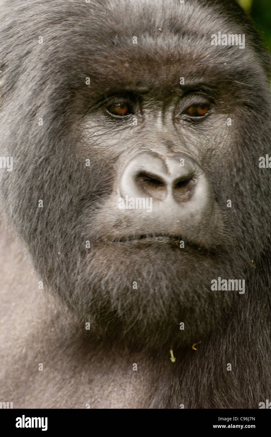 Africa, rwanda, virunga mountains, mountain gorilla in volcanoes national park. - Stock Image