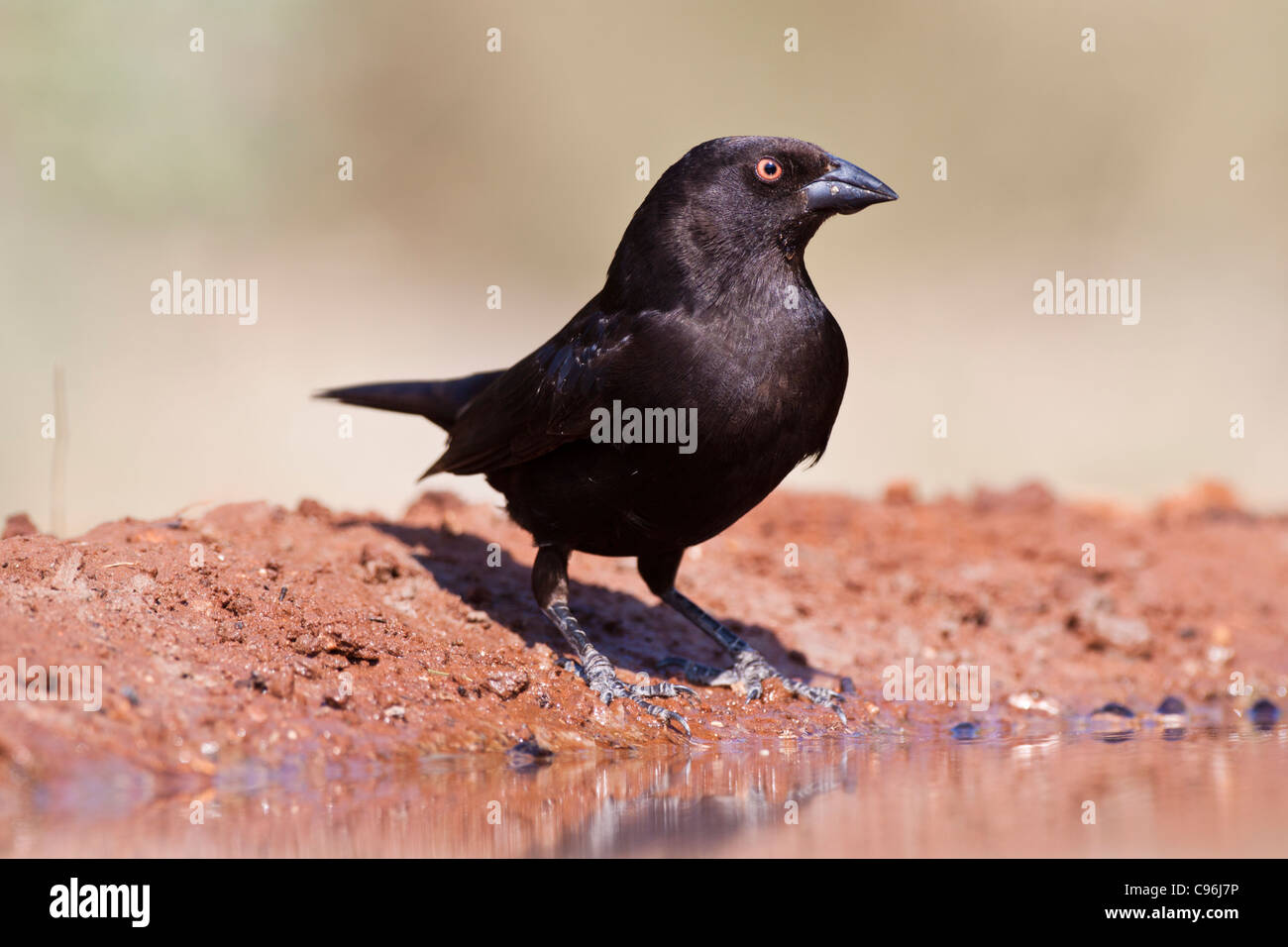 Bronzed Cowbird, Molothrus aeneus, looking for water and relief from summer heat Stock Photo